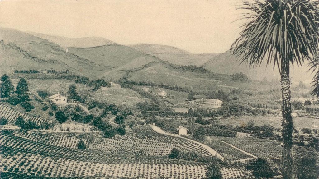 старая чайная плантация