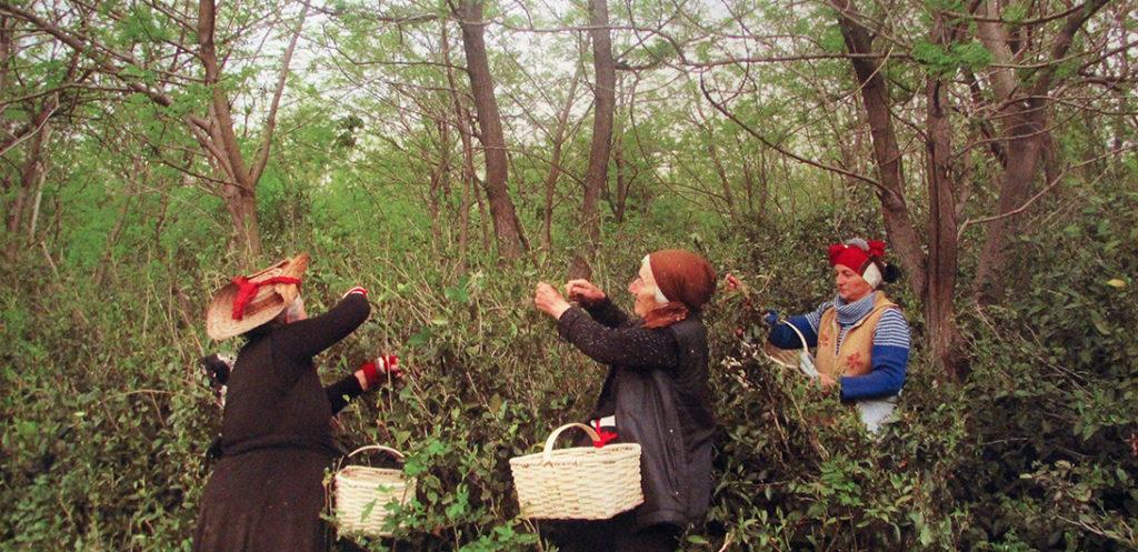 Чай из листьев высокогорной черники в деревянной коробочке