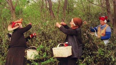 сборщицы дикого чая
