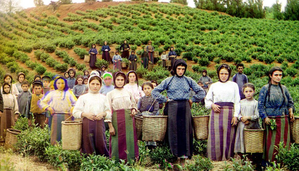 Batumi plantation old
