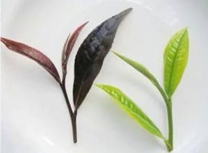 Материнский куст пурпурного чая