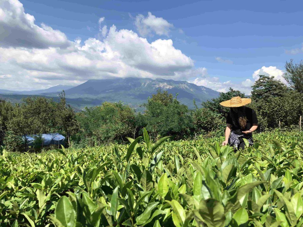 Чайные плантации в Грузии
